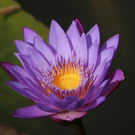 Karen Silvestri -  Purple Water Lily