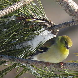 David Lankton -  Yellow Winter Finch