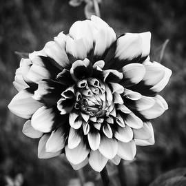 01 Lovely Dahlia by Ben Shields
