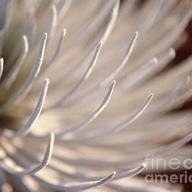 Silversword Closeup by Tracy Knauer