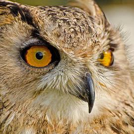 Chris Thaxter - Bengal Owl