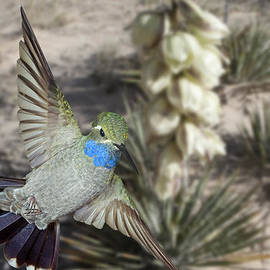 Gregory Scott - Blue-Throated Hummingbird and Yucca