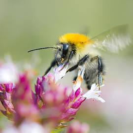 Steven Poulton - Carder Bee