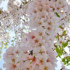 LLaura Burge - 1 Cherry Blossom 2014