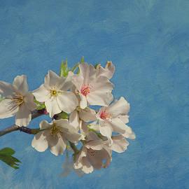 Cherry Blossoms by Kim Hojnacki