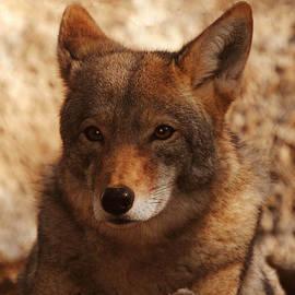 Coyote Beautiful by DiDi Higginbotham