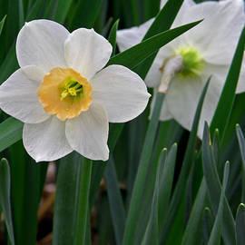 Daffodil by Gerald Mitchell