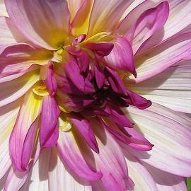 Dahlia named Castle Drive by J McCombie
