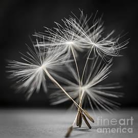 Dandelion seeds by Elena Elisseeva