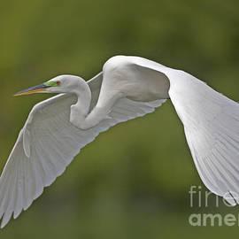 Egret Flight by Dale Erickson