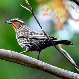 Jaunine Roberts - Female Red-winged Blackbird