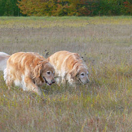 Jennie Marie Schell - Golden Retriever Dogs on the Hunt