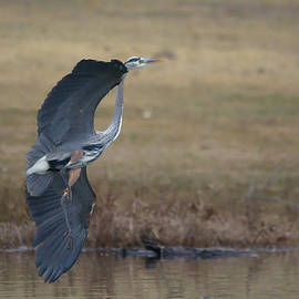 Great Blue Flight Manuever by Roy Williams