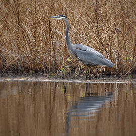 Great Blue Heron by Jack R Perry