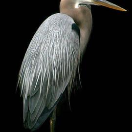 Great Blue Heron by Mariarosa Rockefeller
