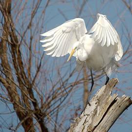 Roy Williams - Great Egret Windy Perch