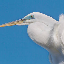 Great White Egret by Kim Hojnacki