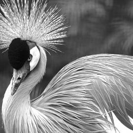 Grey Crowned Crane by Venetia Featherstone-Witty