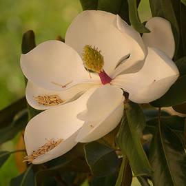 Magnolia by Rima Biswas
