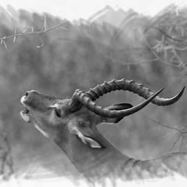 Phil Dyer - Male Impala