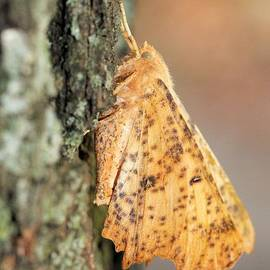 Doris Potter - Maple Spanworm Moth