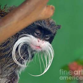 Jim Fitzpatrick - Mustached Monkey Emperor Tamarins