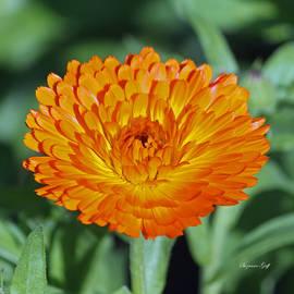 Suzanne Gaff - Orange Beauty