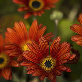 Orange Daisies  by Saija  Lehtonen