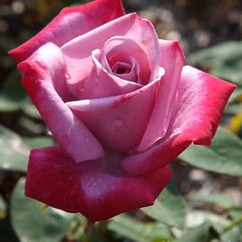 Sara  Raber - Paradise Rose