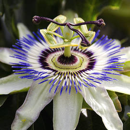Passion Flower  by Saija  Lehtonen