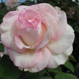 Pastel Rose by Christiane Schulze Art And Photography