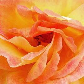 Peach Rose by Allen Beatty