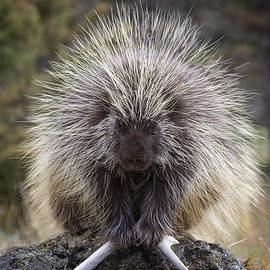 Persnickety Porcupine by Elaine Haberland
