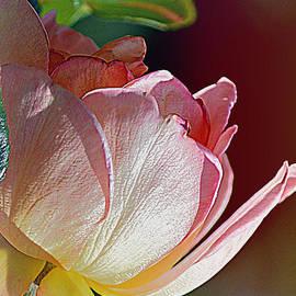 Pink Rose by Joan Han