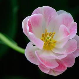 Dheeraj Mallemala - Pink Tulip