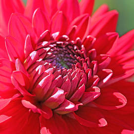 Red Dahlia Flower by Jennie Marie Schell