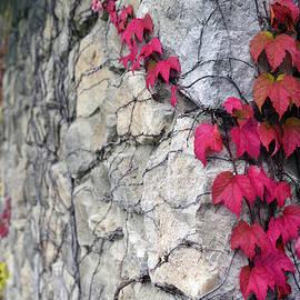 Red Ivy by Matt Swinden