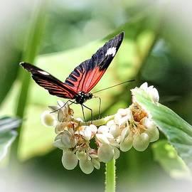 TN Fairey - Red Postman Butterfly