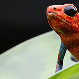 Dirk Ercken - Red strawberry poison dart frog