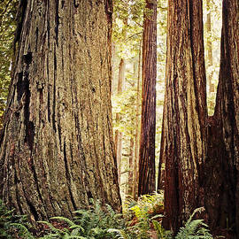 Redwoods by Scott Pellegrin