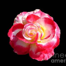Rose by John Zawacki