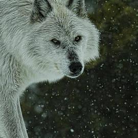 Steve McKinzie - Snow Wolf