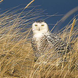 Snowy Owl in the Dunes by John Vose
