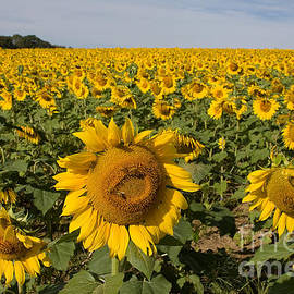 Sunflower Fields by Chris Scroggins