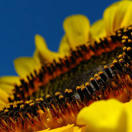 Juergen Roth - Sunflower Macro
