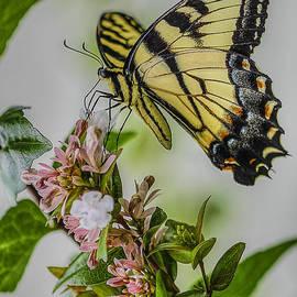 Larry Helms - Swallowtail
