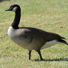 Goose Taking a Stroll by Ruth  Housley