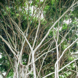 Temple Banyan by Roselynne Broussard