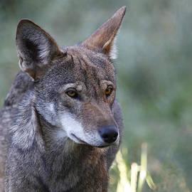 Steve McKinzie - The Red Wolf