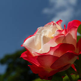 The Rose by Andreas Levi